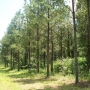 15 Year Old Loblolly Pine Plantation