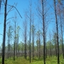 Wildfire damage caused by Cogongrass